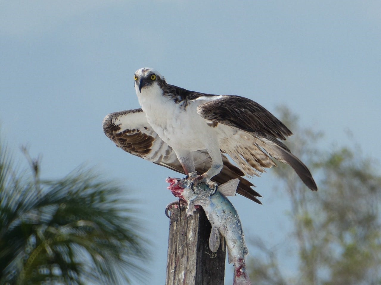This photo of a majestic osprey enjoying lunch was taken by Denise Nowell of Marco Island.