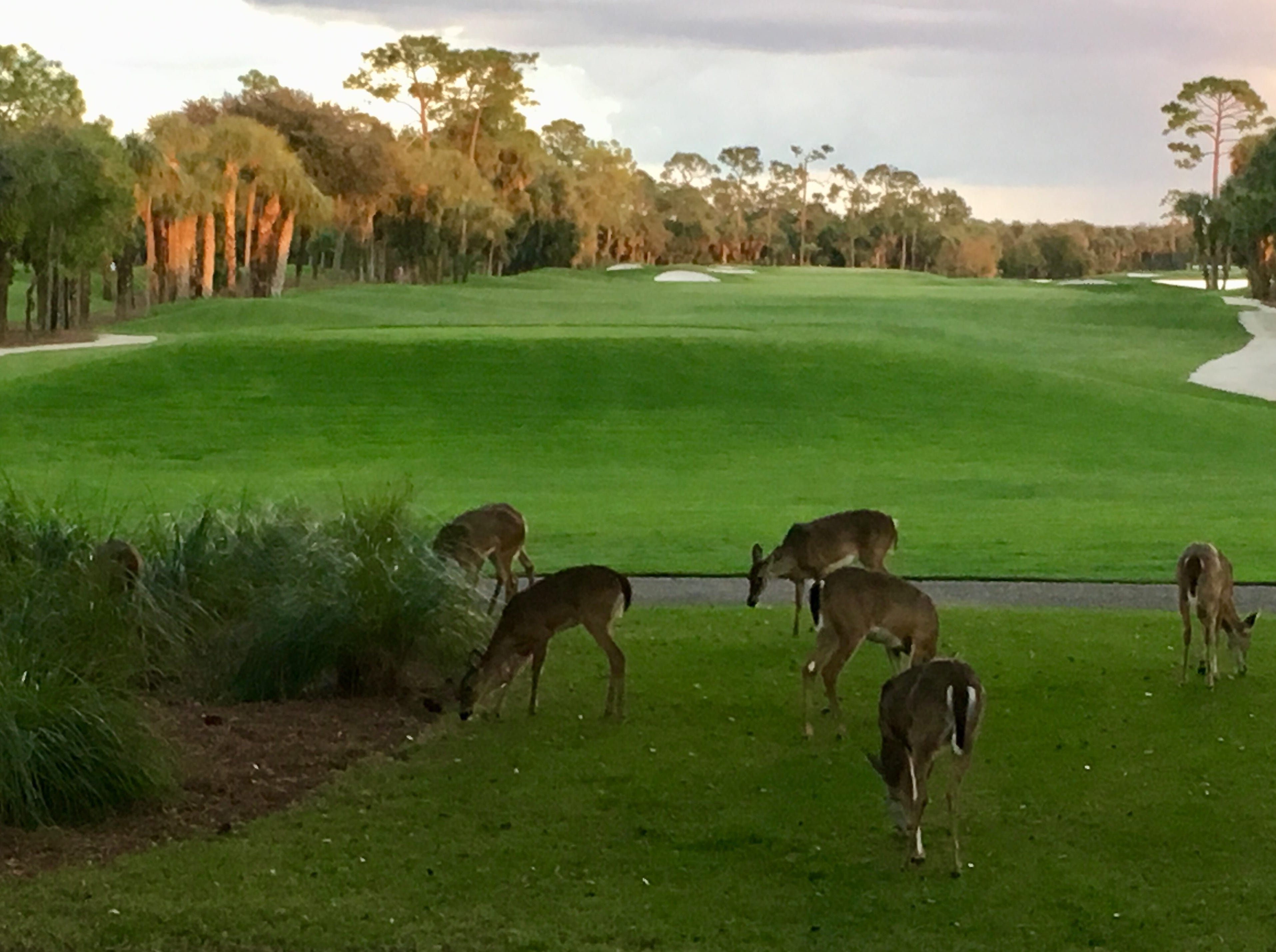 Michael Duggan, of Naples, took this photo of deer grazing on a golf course.