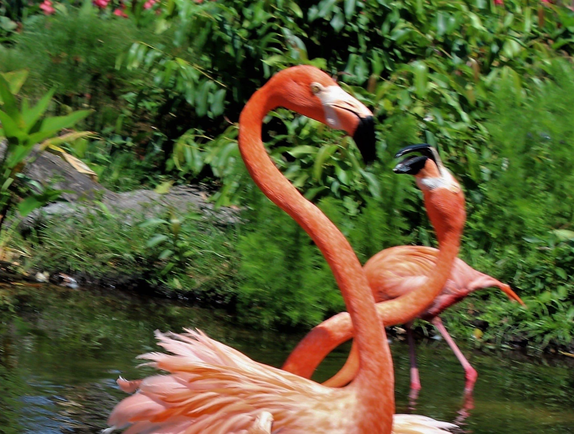 Margaret Mansfield took this photo of flamingos.