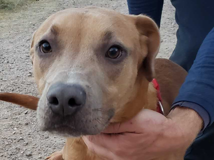 Henny - Male (neutered) pitbull, about 2 years and 2 months old. Intake date: 10-24-2018