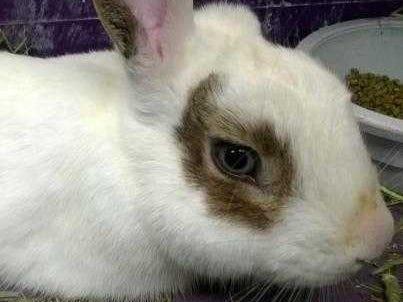 Peanut - Male (neutered) domestic rabbit, adult.Intake date: 10-26-2018