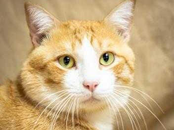 Kraft - Male (neutered) domestic short hair, about 4 years. Intake date:7-21-2018