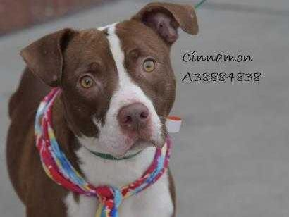 Cinnamon - Female (spayed) pitbull, about 2 years and 5 months old. Intake date:6-17-2018