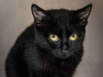 Batty - Female (spayed) domestic short hair, about 6 months. Intake date: 8-20-2018