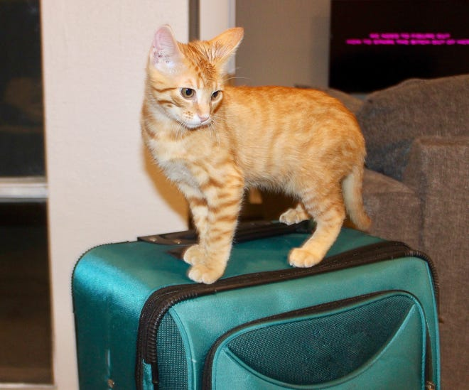Prince Robin of Palm Springs, a ginger tabby kitten, poses on top of luggage.