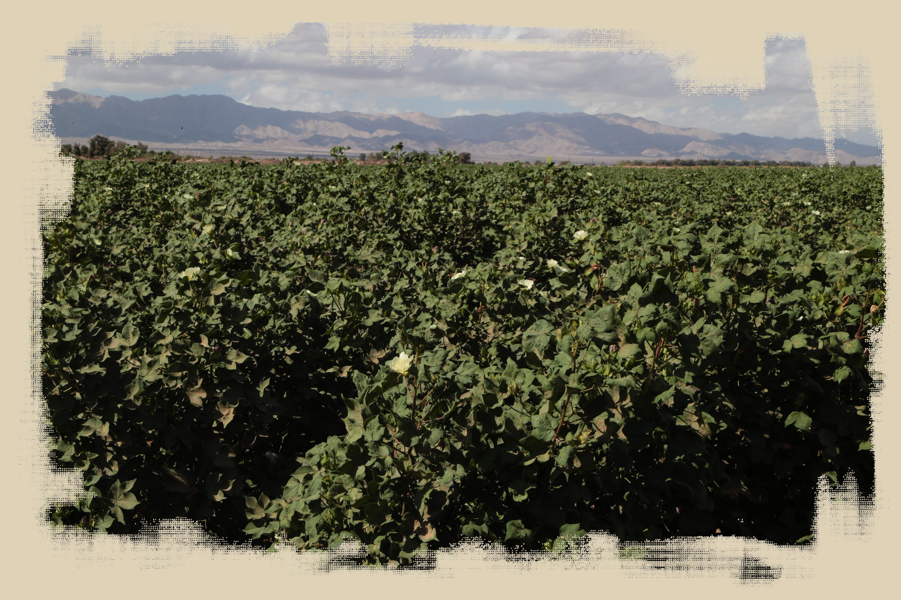 A cotton field south of Mexicali is irrigated with Colorado River water.