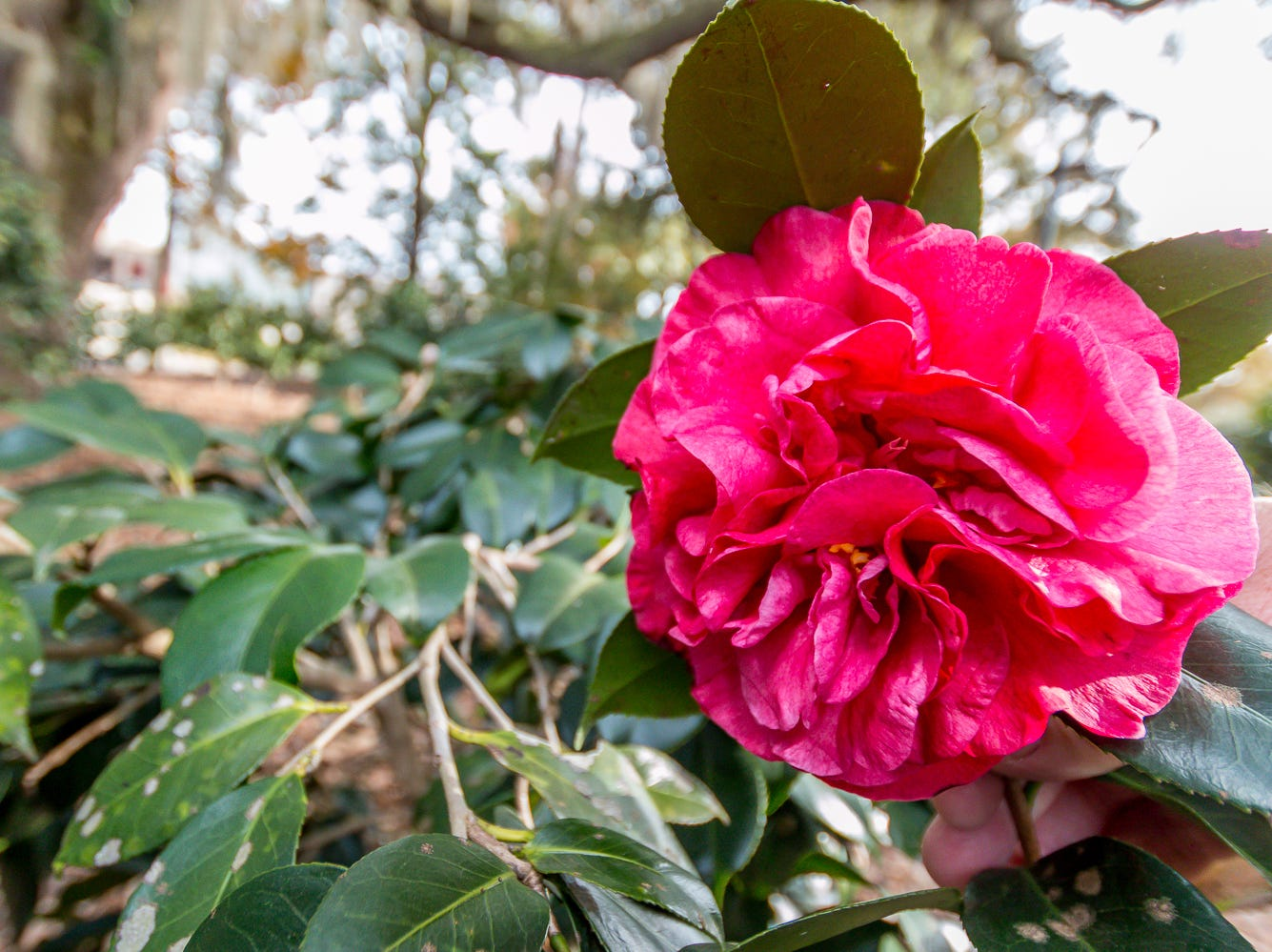 A blooming Seville Square camellia is on display in the University of West Florida's Camellia Garden on Wednesday, November 28, 2018. The garden is located just east of Building 41 for Pyschology and Behavioral Sciences.