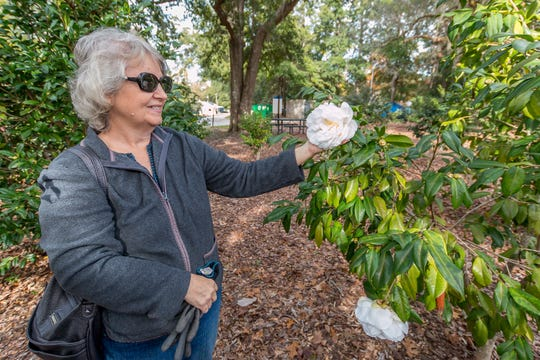 Louise Seitz, of the Pensacola Camellia Club, shows off a Kirsti Leigh camellia in the University of West Florida's Camellia Garden on Wednesday, November 28, 2018. The garden is located just east of Building 41 for Pyschology and Behavioral Sciences.
