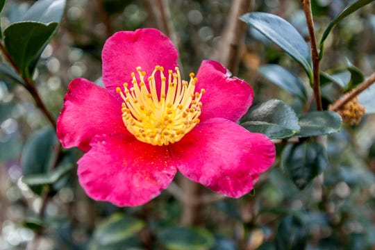 A blooming Yuletide camellia is on display in the University of West Florida's Camellia Garden on Wednesday, November 28, 2018. The garden is located just east of Building 41 for Pyschology and Behavioral Sciences.