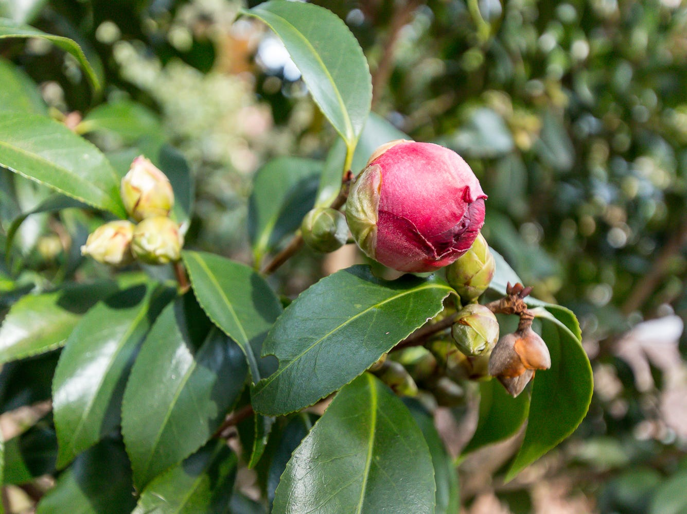 A blooming Midnight Magic camellia is on display in the University of West Florida's Camellia Garden on Wednesday, November 28, 2018. The garden is located just east of Building 41 for Pyschology and Behavioral Sciences.