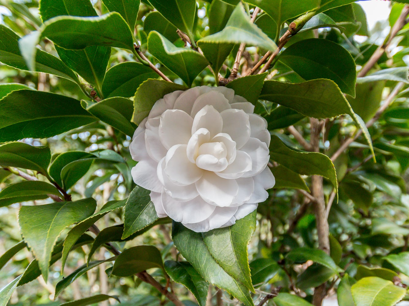 A blooming Alba Pena camellia is on display in the University of West Florida's Camellia Garden on Wednesday, November 28, 2018. The garden is located just east of Building 41 for Pyschology and Behavioral Sciences.