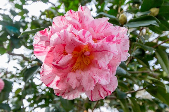 A blooming Lauran Tudor camellia is on display in the University of West Florida's Camellia Garden on Wednesday, November 28, 2018. The garden is located just east of Building 41 for Pyschology and Behavioral Sciences.