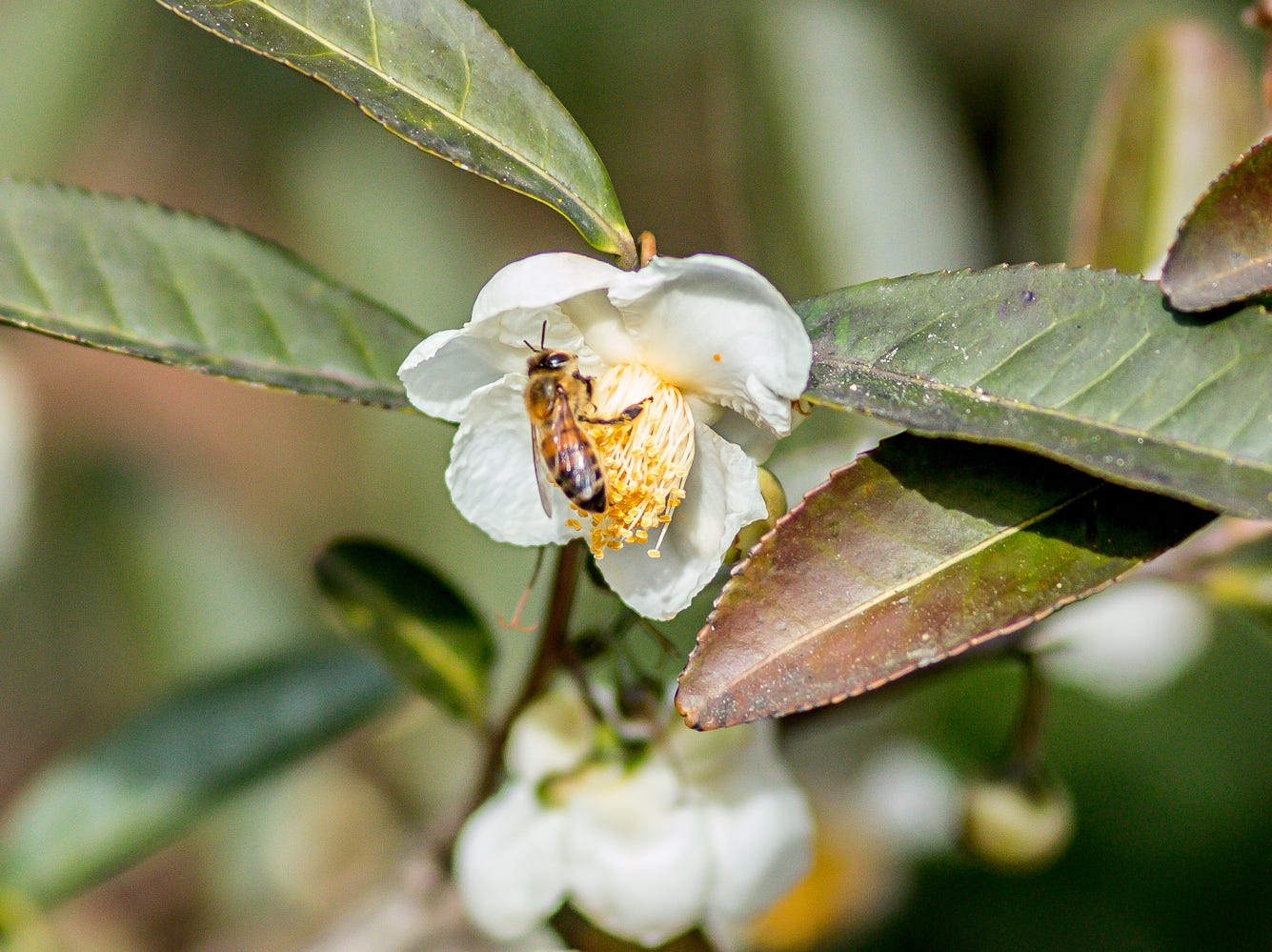 A bee pollinates a blooming camellia in the University of West Florida's Camellia Garden on Wednesday, November 28, 2018. The garden is located just east of Building 41 for Pyschology and Behavioral Sciences.