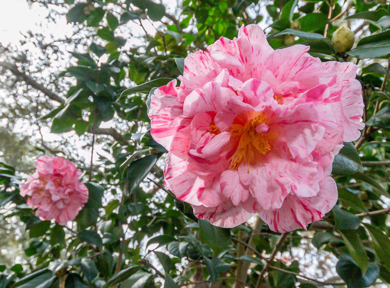 Blooming Lauran Tudor camellias are on display in the University of West Florida's Camellia Garden on Wednesday, November 28, 2018. The garden is located just east of Building 41 for Pyschology and Behavioral Sciences.
