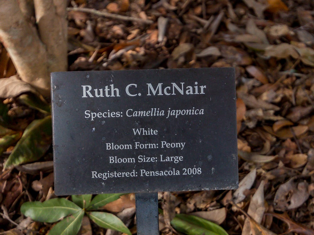 A Ruch C. McNair camellia is on display in the University of West Florida's Camellia Garden on Wednesday, November 28, 2018. The garden is located just east of Building 41 for Pyschology and Behavioral Sciences.
