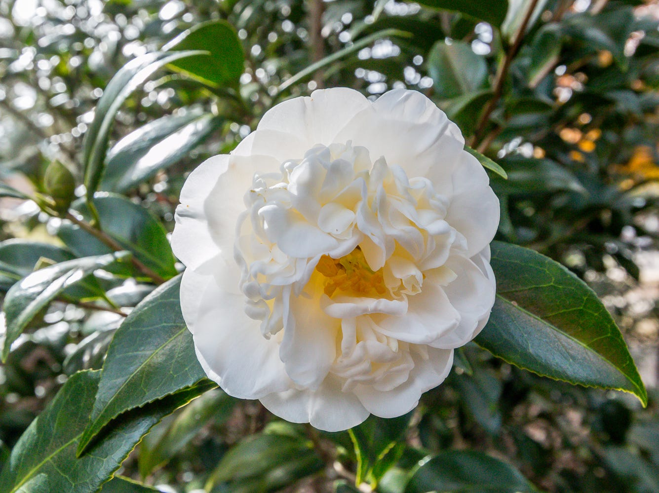 A blooming Man Size camellia is on display in the University of West Florida's Camellia Garden on Wednesday, November 28, 2018. The garden is located just east of Building 41 for Pyschology and Behavioral Sciences.