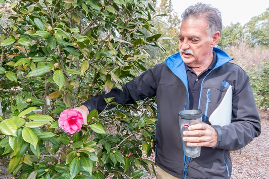 John Mate, president of the Pensacola Camellia Club, talks about a blooming Mathotiana camellia in the University of West Florida's Camellia Garden on Wednesday, November 28, 2018. The garden is located just east of Building 41 for Pyschology and Behavioral Sciences.
