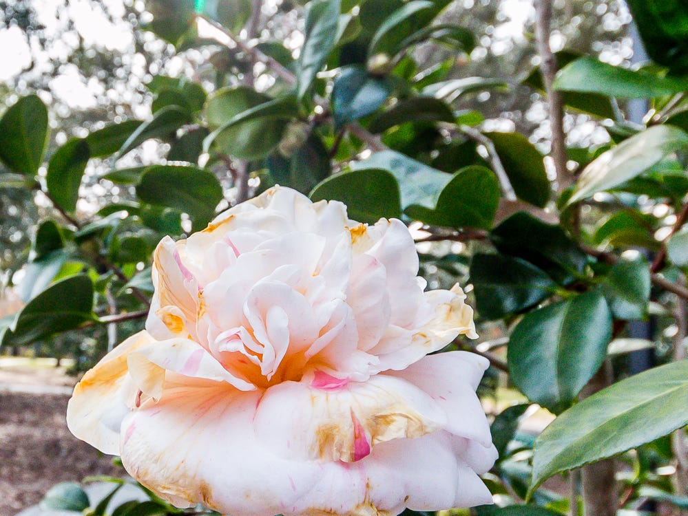 A blooming Margaret Davis Picotee camellia is on display in the University of West Florida's Camellia Garden on Wednesday, November 28, 2018. The garden is located just east of Building 41 for Pyschology and Behavioral Sciences.