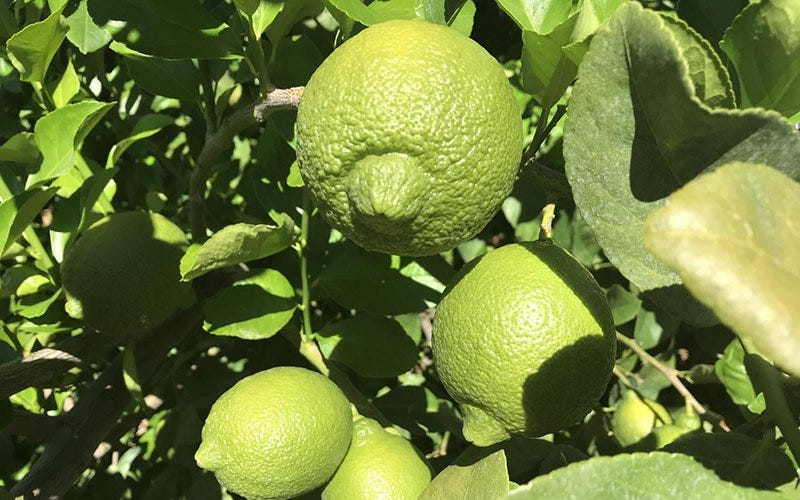 Arizona is one of the top citrus-growing states: Here's why.