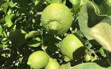 Ever wonder how citrus came to Arizona? Want to know which kind is grown the most? These plants sure have a zesty history.
