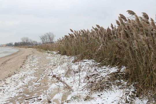 A wetlands restoration project near Waterworks Park in Port Clinton aims to control invasive plant species such as phragmites, pictured here, and boost the diversity of native plants.