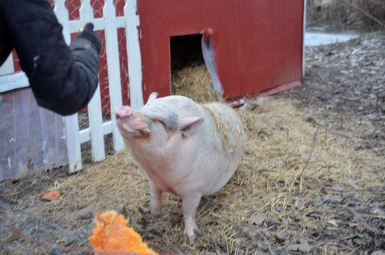 A donated pig eats a pumpkin at R.O.N.S. Farm-AC Center in Casco Township.