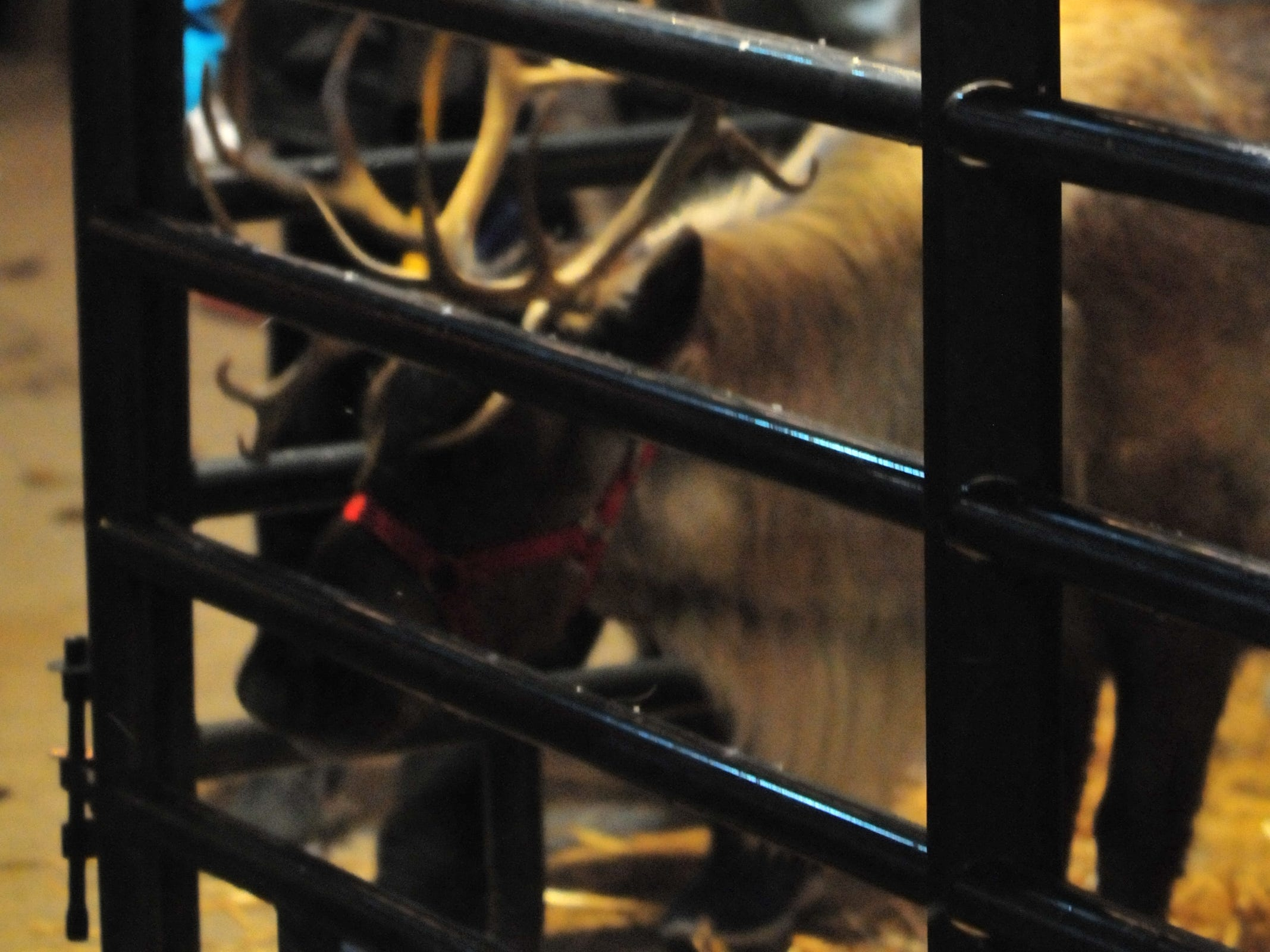 Reindeer drew plenty of attention Tuesday during the 14th annual Old-Fashioned Christmas Festival.