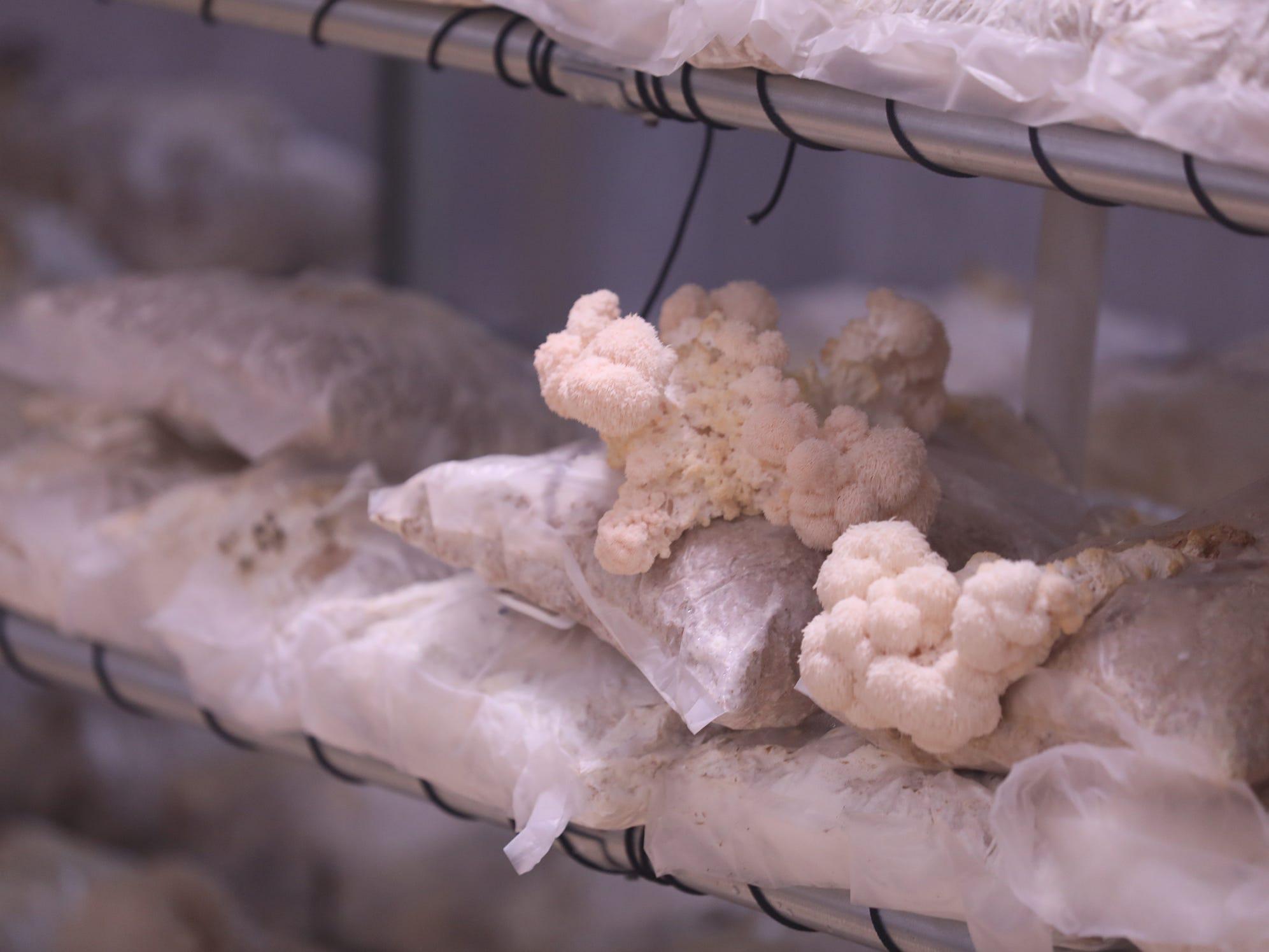 Lion's Mane mushrooms burst through their grow bag.