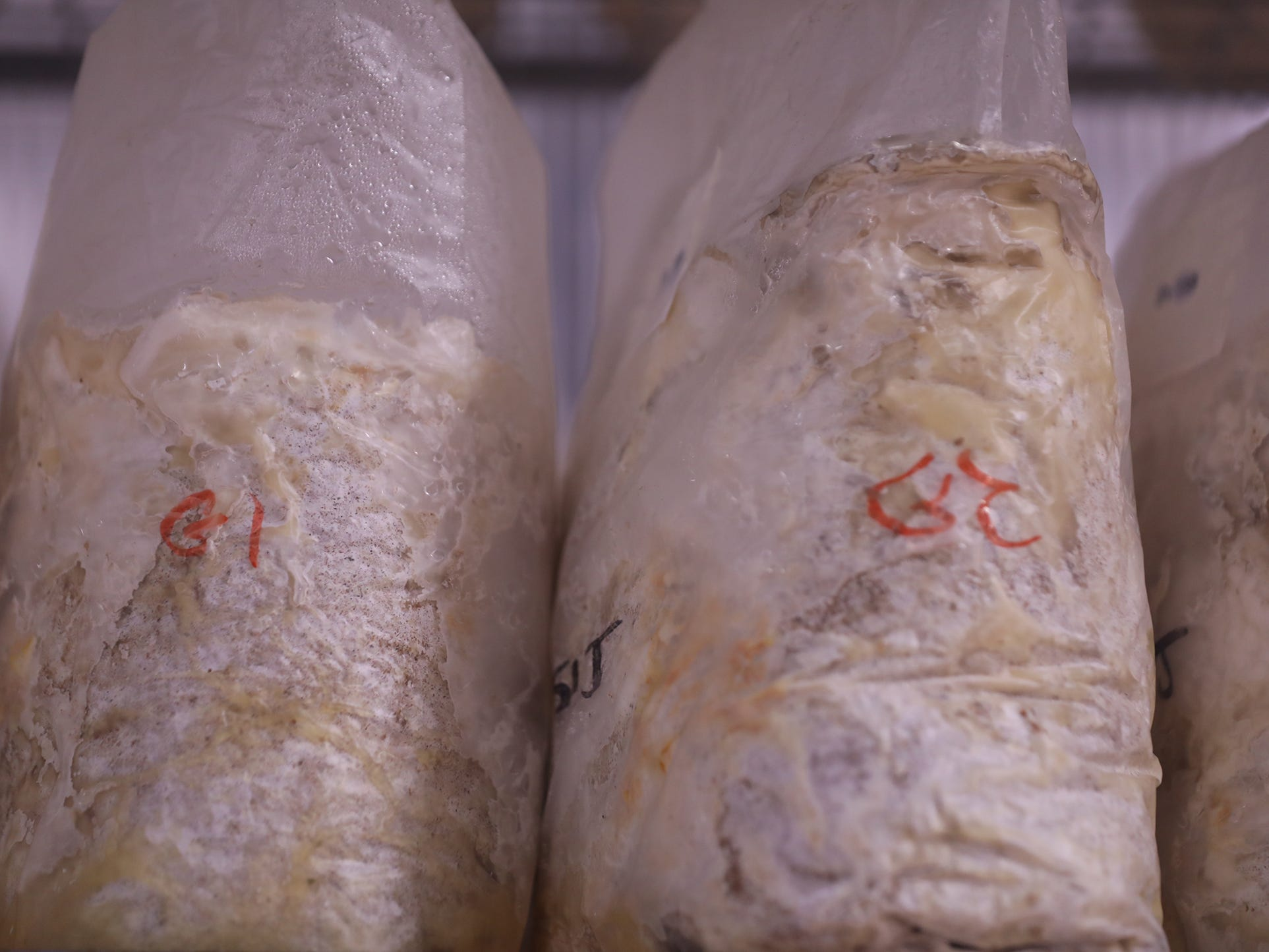 Mushrooms in various forms of growth in these grow bags.  They are just starting to take root inside the sawdust blend.