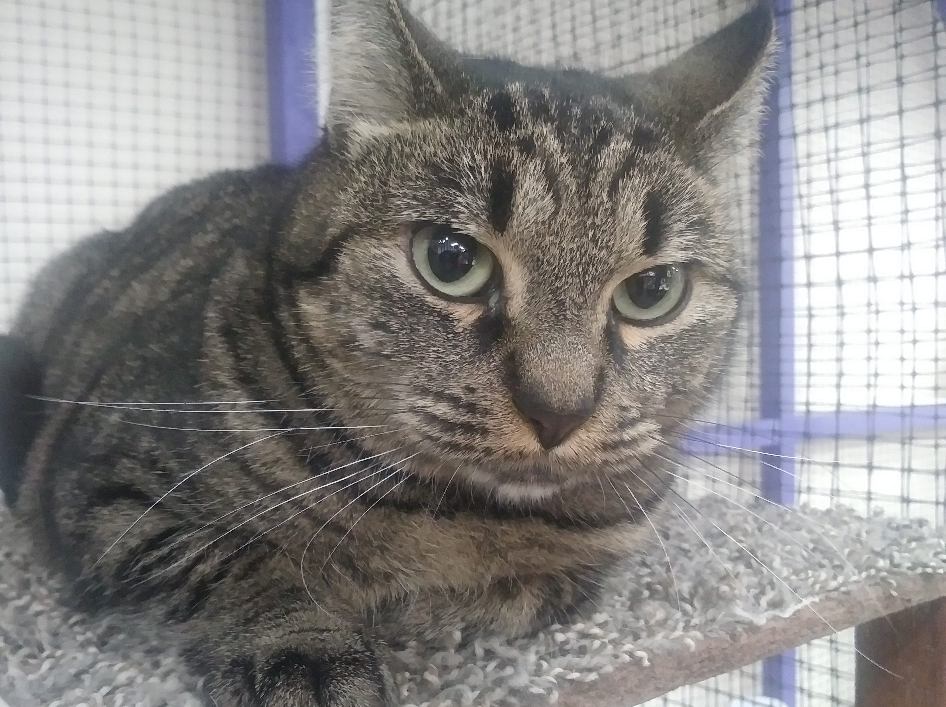Misty Meadows is a young, female, brown tabby kitty. She is 18 months old, and ready for adoption. Email Spay Neuter and Protect at Snap.spayneuterandprotect@gmail.com. Call 209-6966.