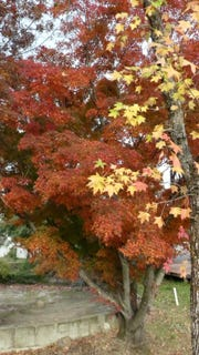 Add fall color to your garden with a Liquidamber tree (yellow) and Japanese Maple.