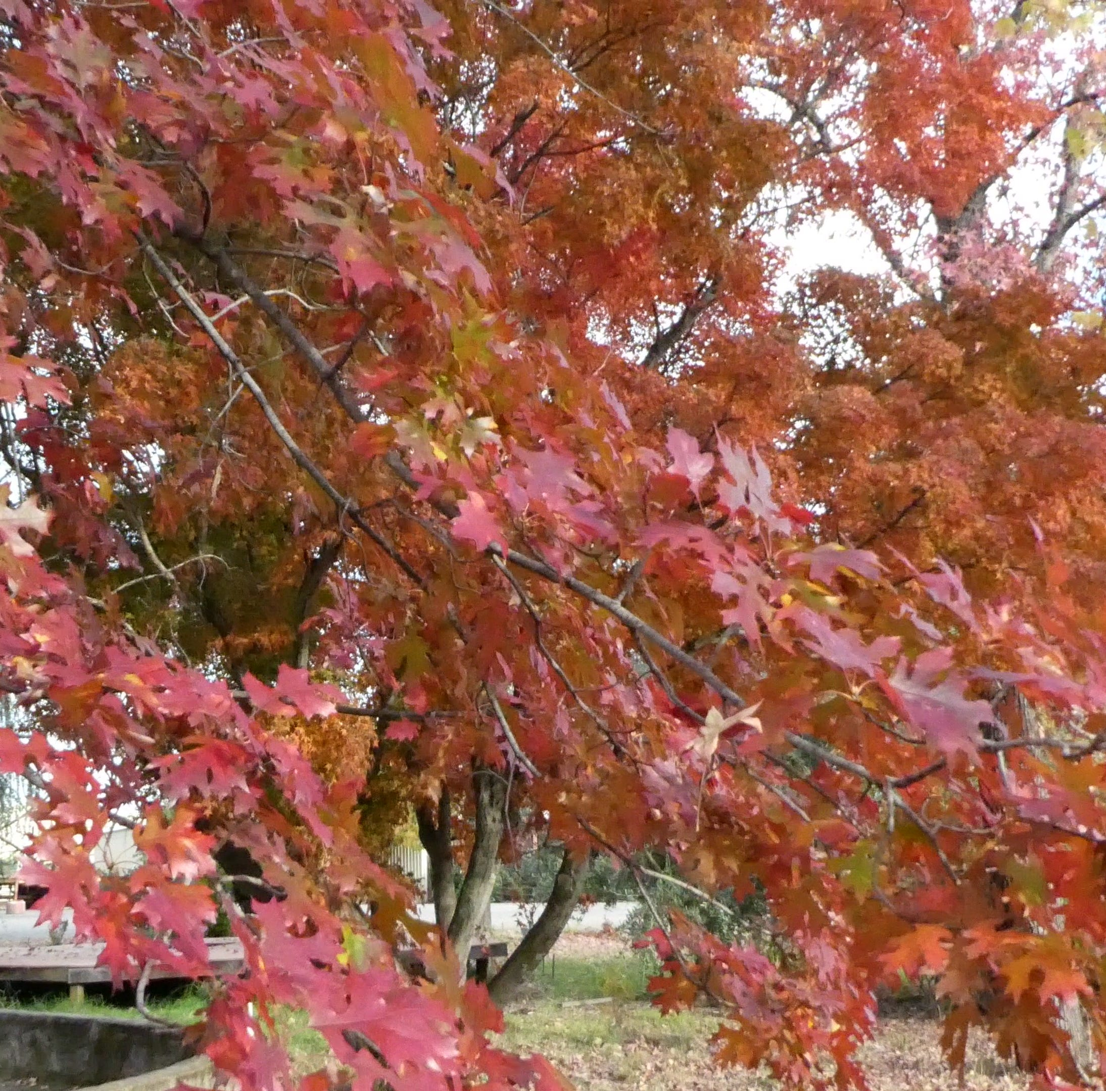 Master gardeners: Know which trees give best autumn color