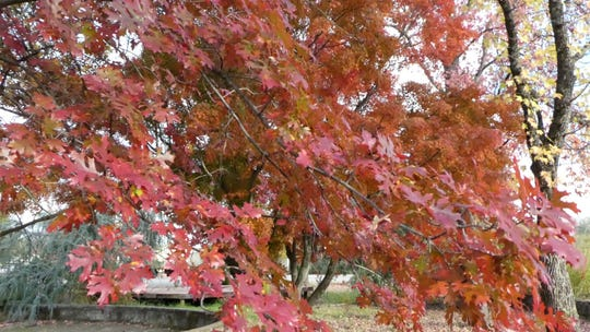 Add fall color to your garden with a Northern Red Oak.