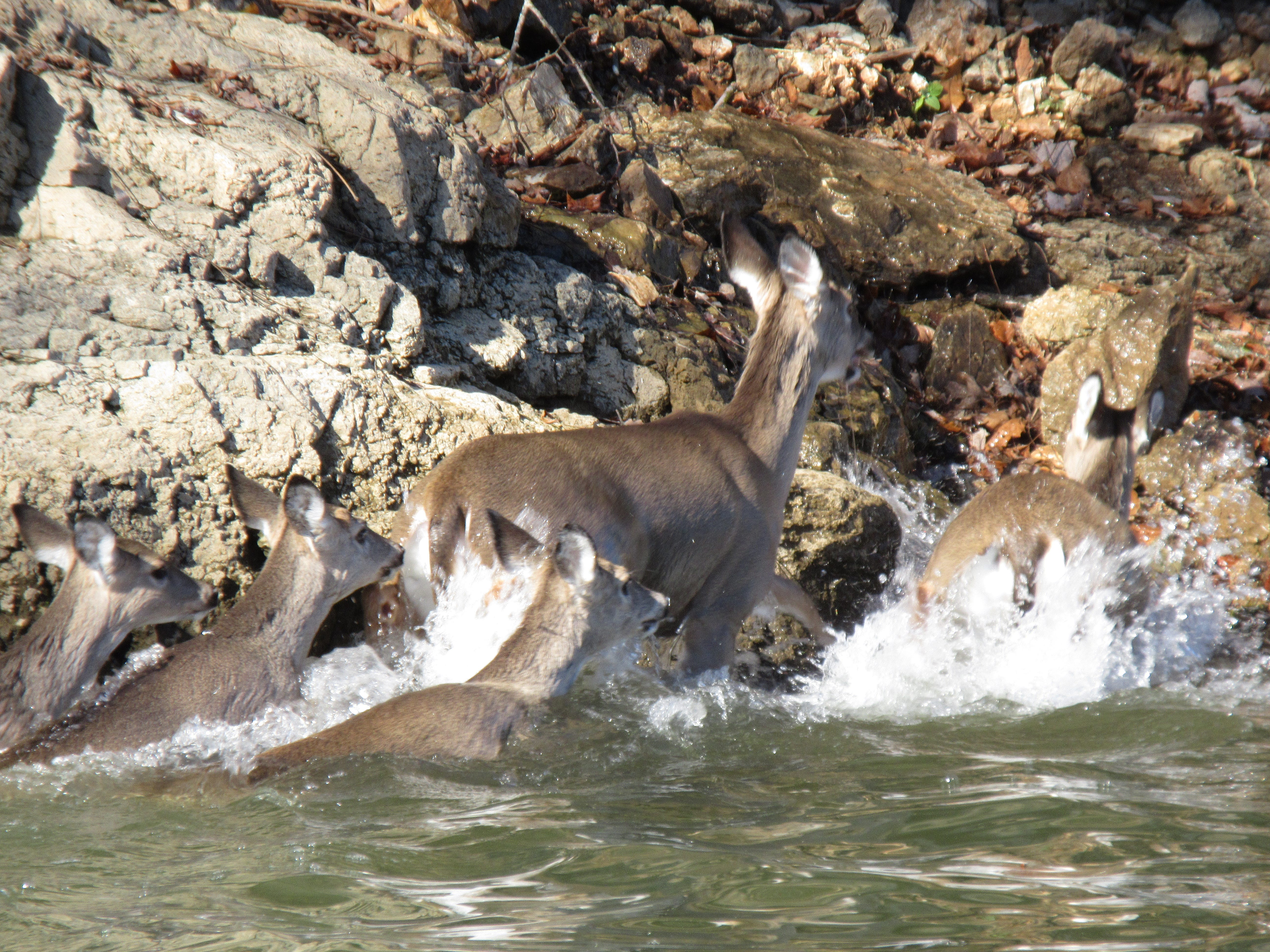 The deer scrambled ashore, leaving an injured buck behind on the other side.
