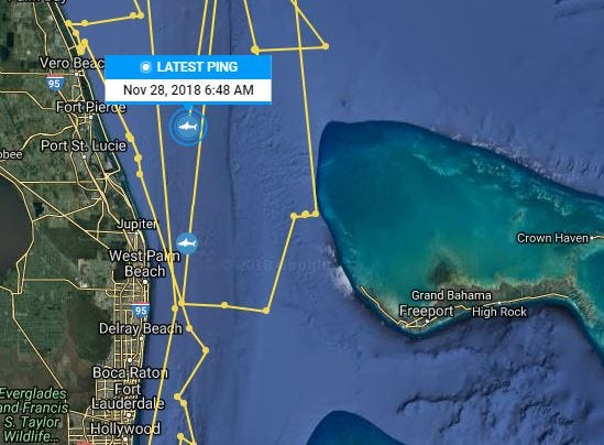 Katharine the great white shark pinged at 6:48 a.m. Wednesday off the coast near Fort Pierce and Port St. Lucie.