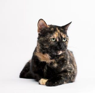 Cleo: a friendly gal who could be 'purrfect' for any home| Marathon County Pet of the Week