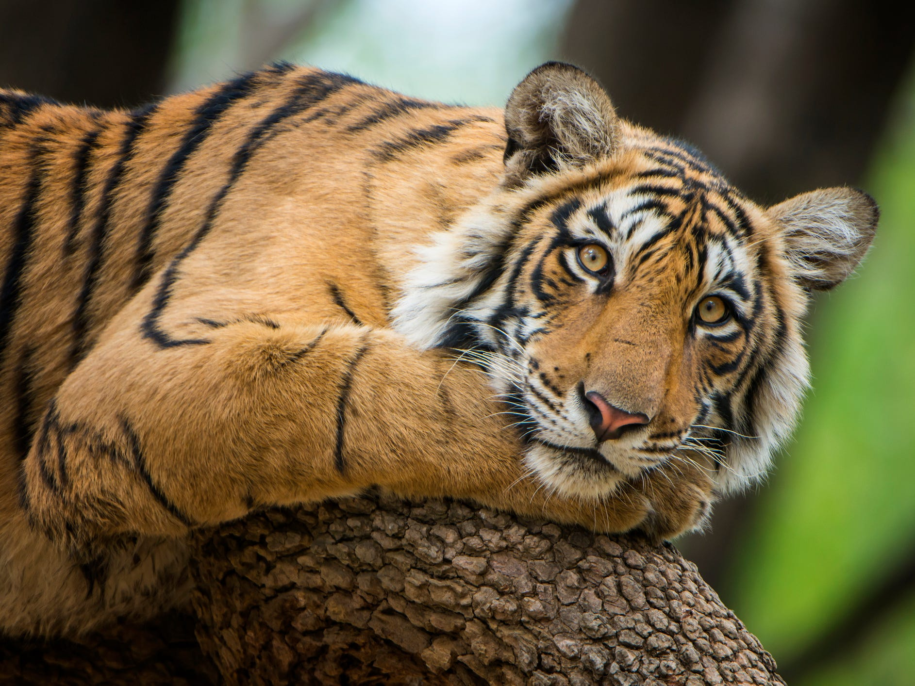 India: There are few sights more magnificent than a 400-pound Bengal tiger stalking across the grass, muscles rippling under its sleek striped coat. Tigers are most easily spotted in a string of parks across India, including Corbett and Bandhavgarh national parks. The most appealing, though, may be Ranthambore National Park; once the hunting grounds of Jaipur's maharajas, the park features not only plenty of tigers but also temple ruins and other wildlife such as leopards and sloth bears.