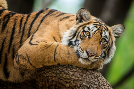 Bengal Tiger Panthera Tigris Tigris On A Tree Wildlife Shot