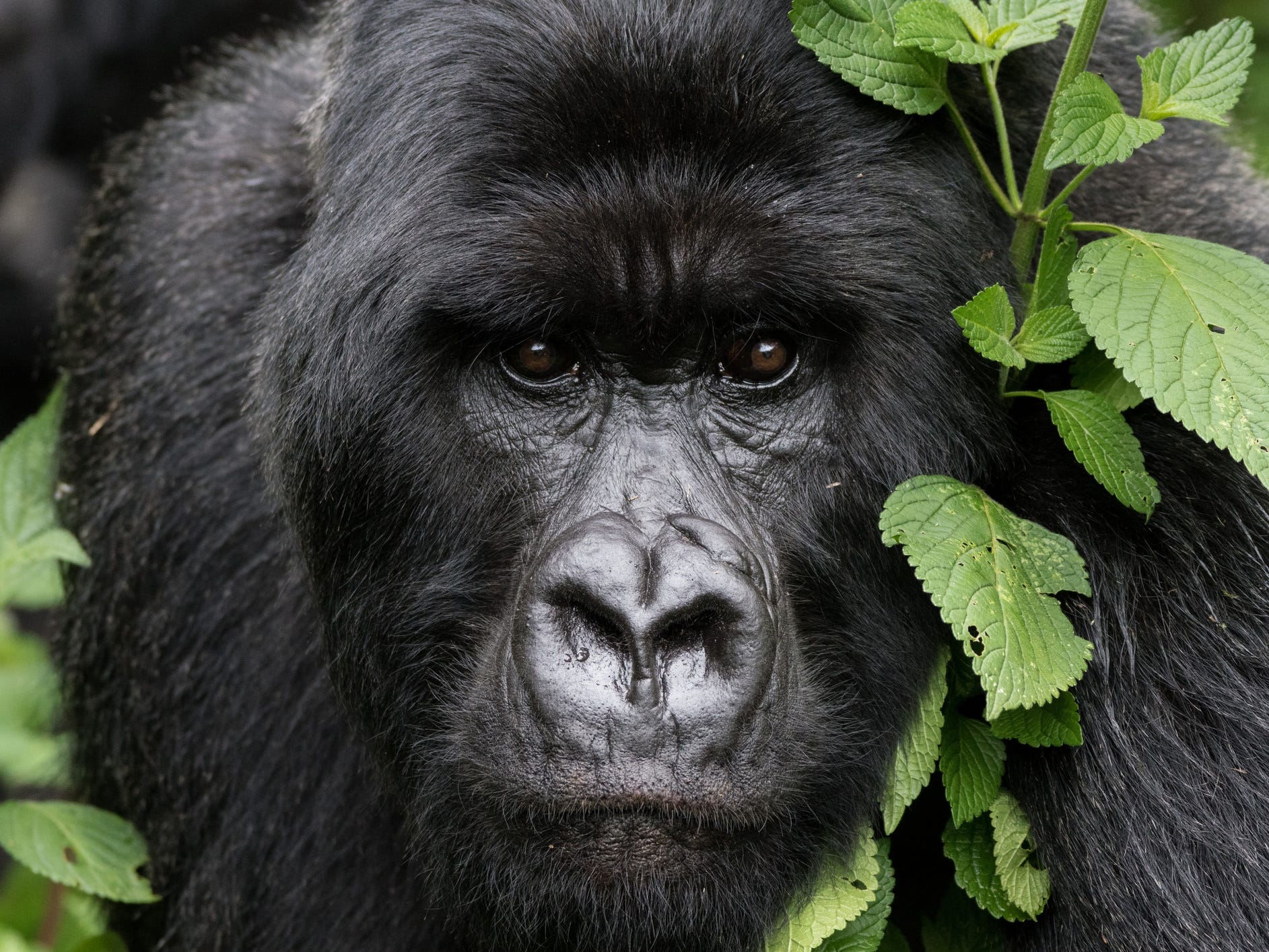 Rwanda and Uganda: Imagine crouching in a dense green forest just a few yards away from a mother gorilla cradling her baby, or a 400-pound silverback foraging for food. There are only about 880 mountain gorillas left on the planet, and Rwanda and Uganda are the best and safest places to view them. Uganda is a better option for travelers on a budget, as permits and accommodations tend to be cheaper; it's also easy to add other adventures onto your wildlife trip such as spotting lions and elephants in Queen Elizabeth National Park. Meanwhile, Rwanda has better infrastructure, shorter driving distances, and the chance to see playful golden monkeys.