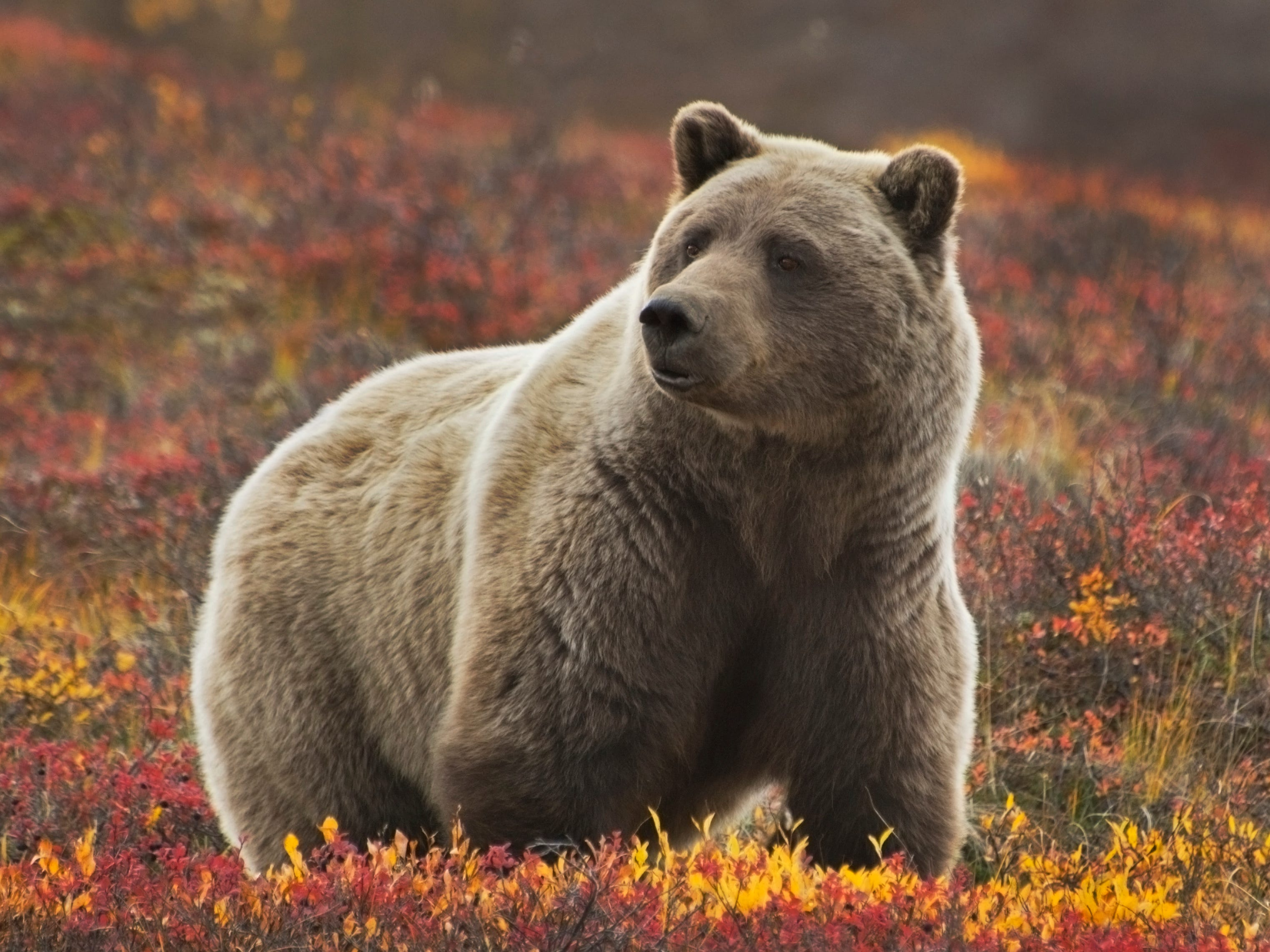 Alaska: With bald eagles soaring overhead, humpback whales flashing their flukes in the water, and hungry bears stalking rivers in search of salmon, Alaska offers a feast of wildlife travel adventures. Denali National Park is a good place to spot Alaska's version of the African Big Five: moose, caribou, Dall sheep, wolves and grizzly bears. Many visitors come on cruise ships through the Inside Passage, where you can often see marine animals such as sea otters, Steller sea lions, harbor seals and various types of whales.