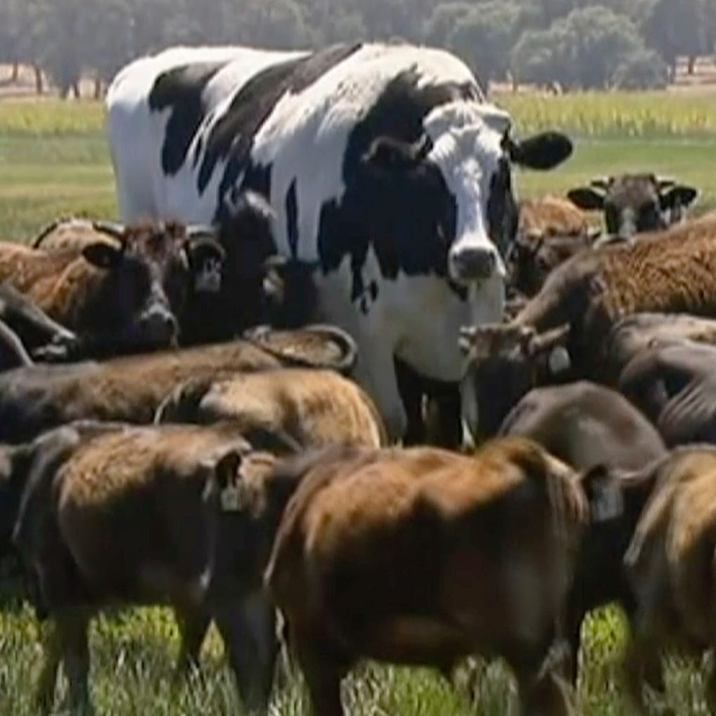 How does Iowa's biggest bull compare to Knickers, the internet-famous steer?