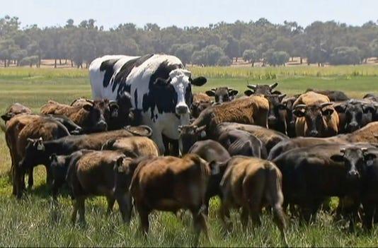 Ap Australia Huge Steer I Aus