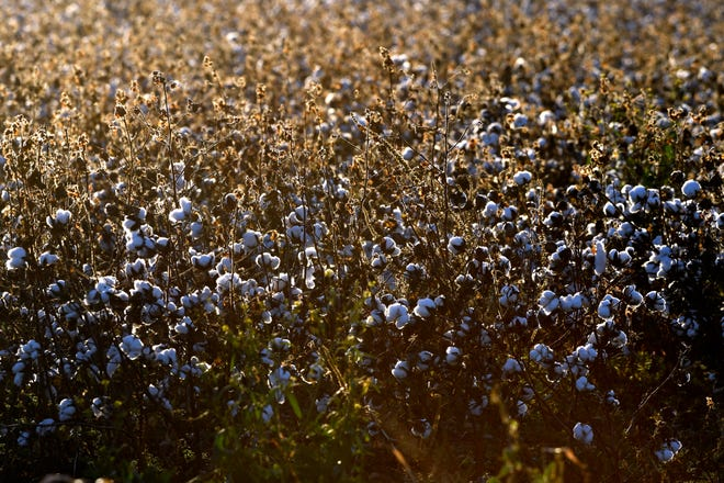 Cotton stands in a Jones County field Nov. 28, just south of Stamford along State Highway 6.
