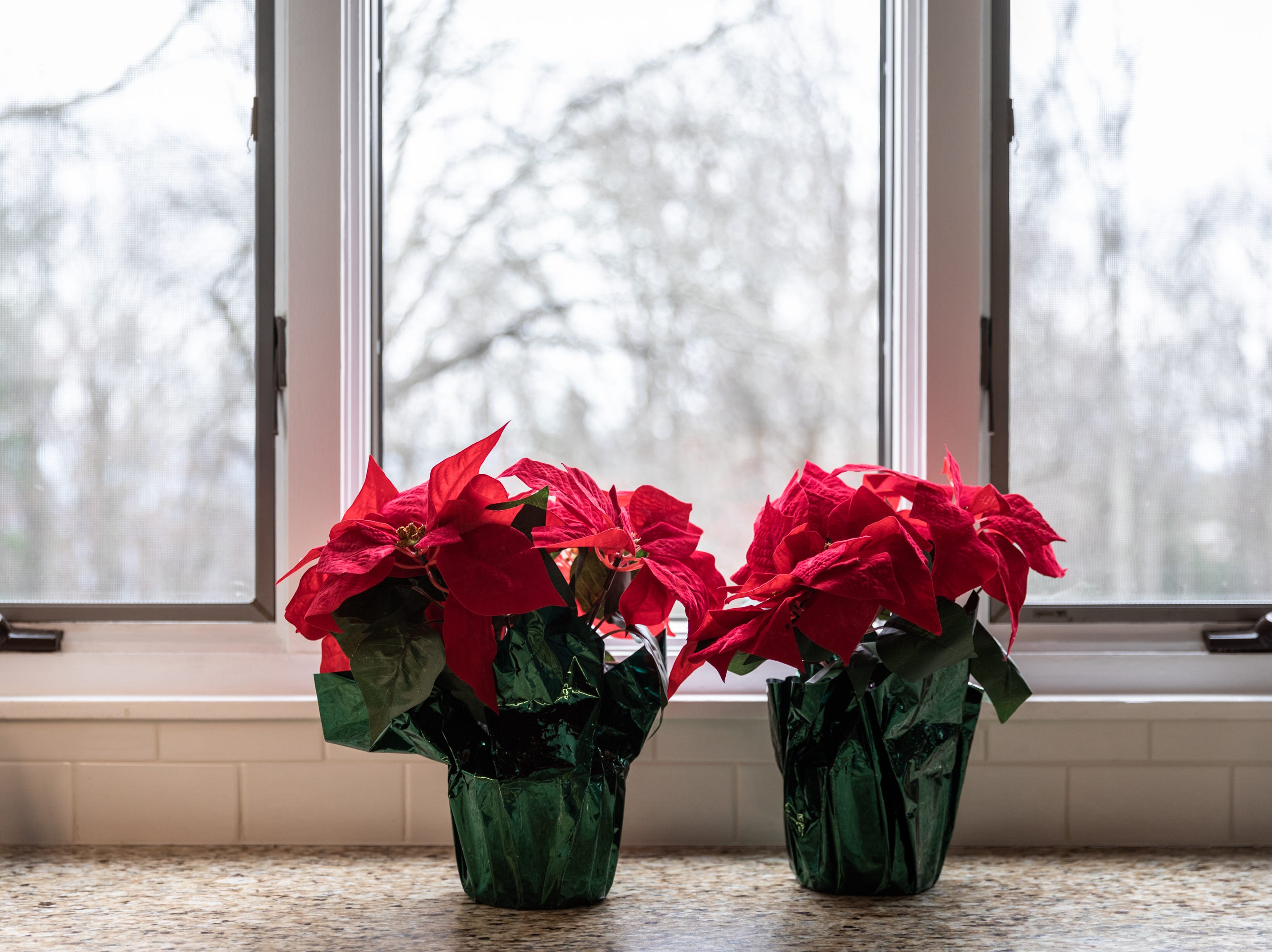 Poinsettias in the kitchen of the Governor's Western Residence on Patton Mountain Road in Asheville.