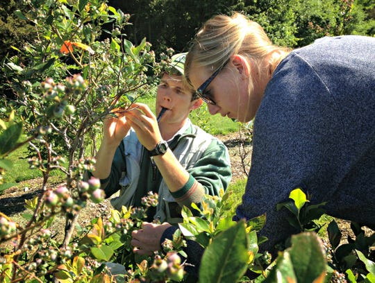 Charles Nicholson, a researcher and former PhD student at UVM's Gund Institute for Environment and Rubenstein School of Environment and Natural Resources checks out the growth and abundance of blueberries with fellow researcher.