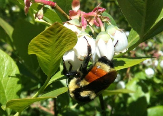 A wild bee pollinates blueberry blossoms on a Vermont farm.