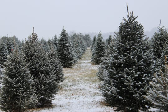 Wojcik's Christmas Tree Farm in Pittsfield, on the outskirts of Pulaski, offers cut-your-own and precut trees.
