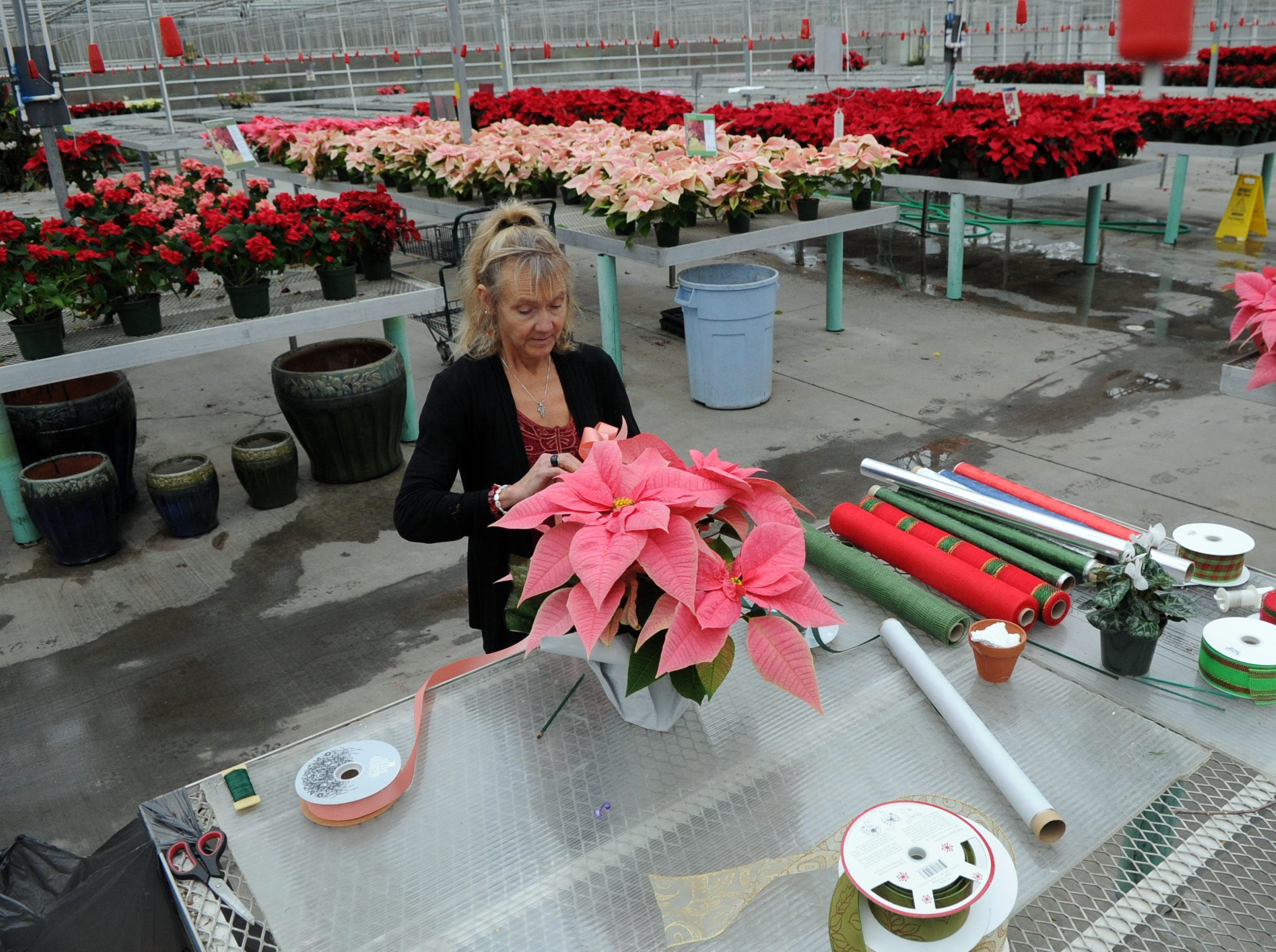 Lisa Stanley decorates a poinsettia at her business, Stanley's Greenhouse, in South Knoxville Friday, Dec. 16, 2011.  Stanley's husband, Rocky, begins growing the plants for the holiday season in the summer.