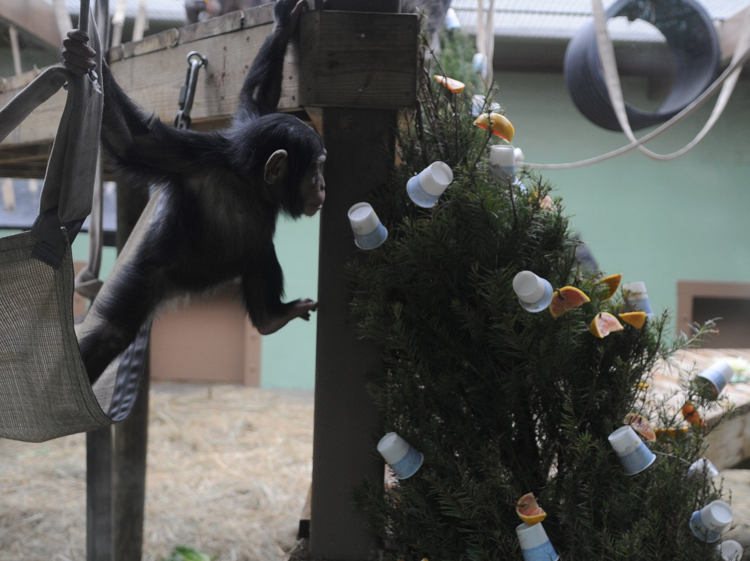 Two year-old chimpanzee George swings to check out a Christmas tree covered in treats at the Knoxville Zoo on Friday, Jan. 7, 2011. The trees were donated to the zoo from various stores like Home Depot or Lowes and different animals eat or play with them for weeks after the holidays. The treats consist of oranges and peanut butter.