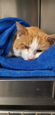 An orange and white cat is recovering after being shot with an arrow.